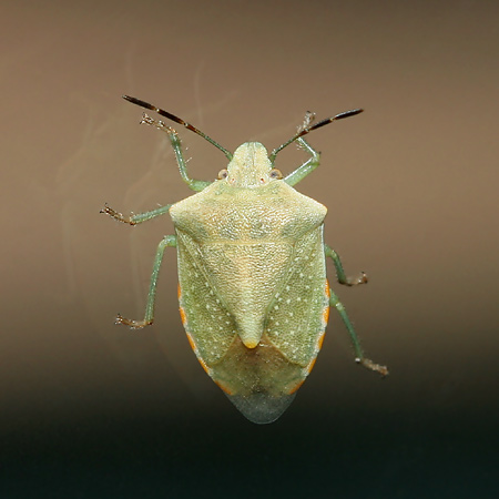 Green Stink Bug or Stinkbug (Family Pentatomidae)
