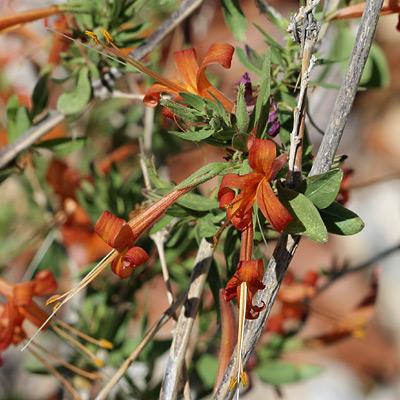 Thurber's Desert Honeysuckle (Anisacanthus thurberi)