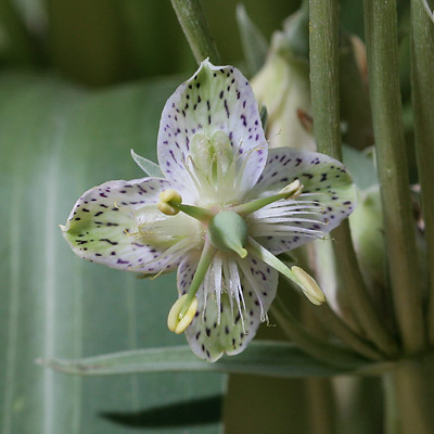 Elkweed (Frasera speciosa) flower