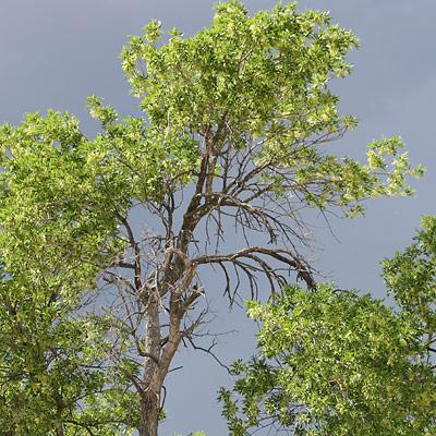 Velvet Ash (Fraxinus velutina)