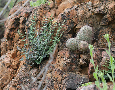 Spiny Cliffbrake (Pellaea truncata) and Mammillaria species