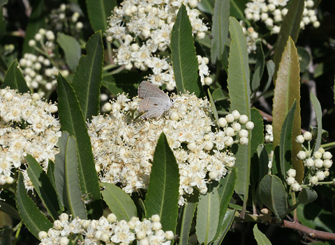 Arizona Rosewood (Vauquelinia californica) flowers