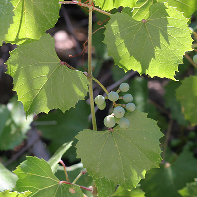 Unripe Canyon Grapes (Vitis arizonica) - The Firefly Forest