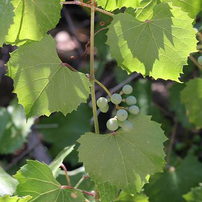 Unripe Canyon Grapes (Vitis arizonica)
