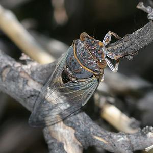 Apache Cicada (Diceroprocta apache)