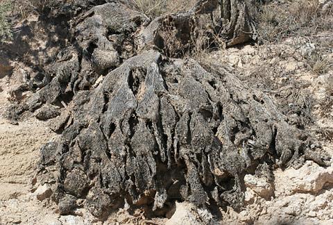 Dead Pricklypear Cactus (Opuntia species)