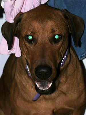 Dog showing green-eye effect
