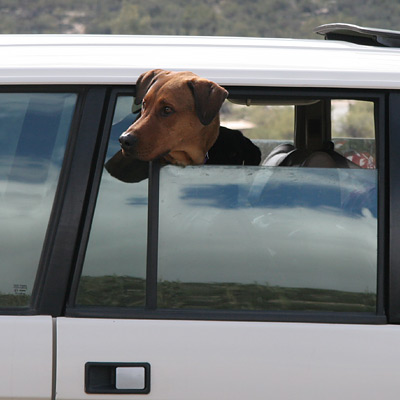 My dog Bounder, a Doberman mix, looking out of a car window