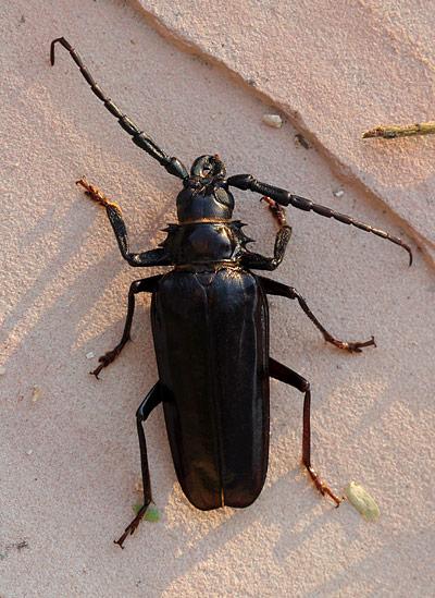 Paloverde Root Borer (Derobrachus geminatus)