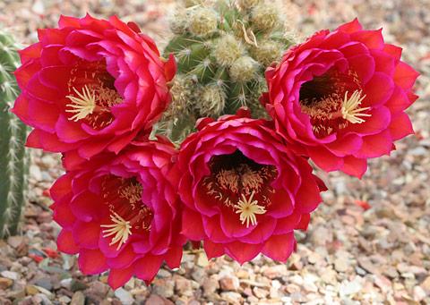Magenta-flowered cactus
