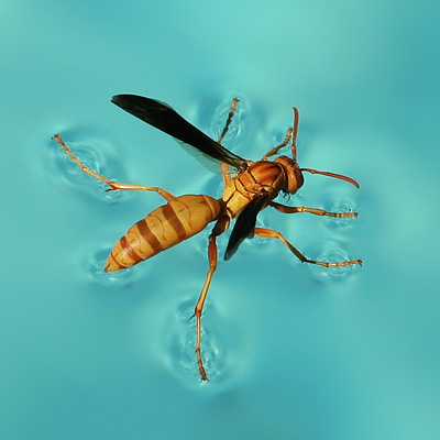 Paper Wasp (Polistes sp.) resting on the water