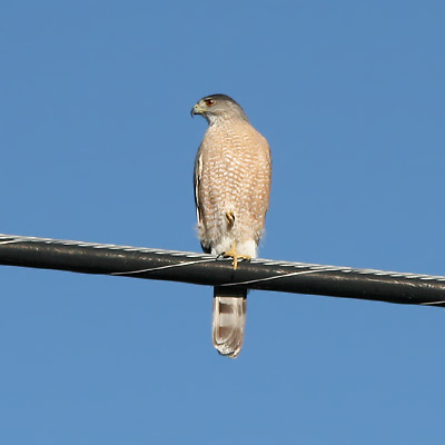 Adult Cooper's Hawk (Accipiter cooperii)