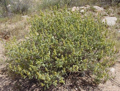 Triangle Burr Ragweed (Ambrosia deltoidea)