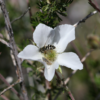 Apache Plume (Fallugia paradoxa) flower with a Flower Fly (Syrphidae)