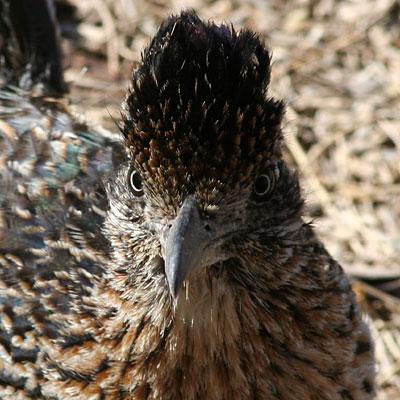 Roadrunner Geococcyx Californianus Eyes Of A Predator