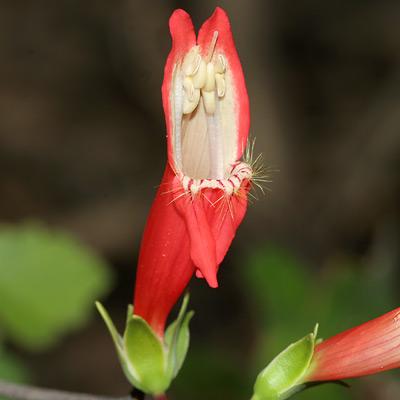 Beardlip Penstemon (Penstemon barbatus) flower