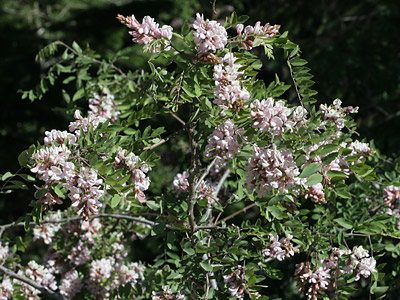New Mexico Locust (Robinia neomexicana)