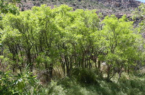 Wingleaf Soapberry (Sapindus saponaria) trees