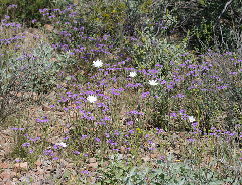 Spring Wildflowers in Tucson, Arizona