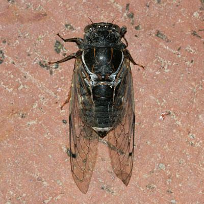 Early summer Cicada in Tucson, Arizona