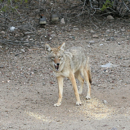 Coyote (Canis latrans) eating birdseed