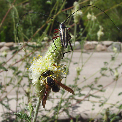 Longhorn Beetle (Family Cerambycidae) and a wasp