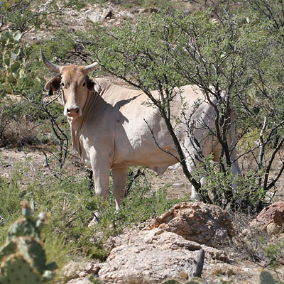 One member of a herd of range cattle in Tucson