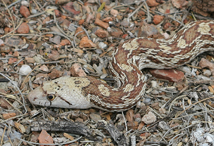 Gopher Snake or Gophersnake (Pituophis catenifer)