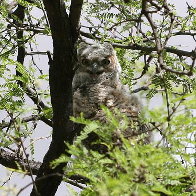 Immature Great Horned Owl (Bubo virginianus)