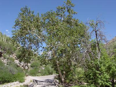 Arizona Sycamore (Platanus wrightii) in Sabino Canyon