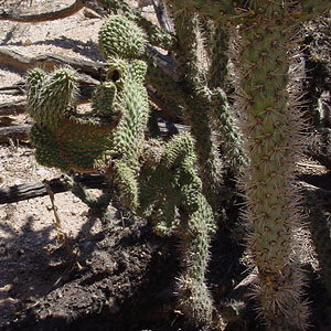 Crested Cane Cholla (Opuntia spinosior)