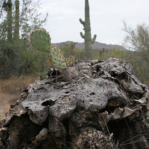 Cactus Apple or Engelmann's Prickly Pear (Opuntia engelmannii) on a dead Saguaro (Carnegiea gigantea)