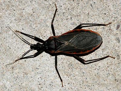 Kissing bug (Triatoma rubida)