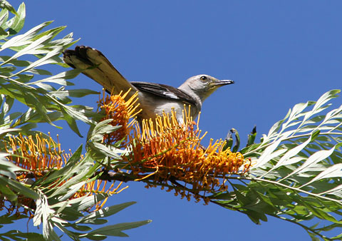 Northern Mockingbird (Mimus polyglottos) in a Silkoak (Grevillea robusta) tree