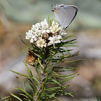 Pine-Needle Milkweed (Asclepias linaria) flowers and a Gray Hairstreak butterfly