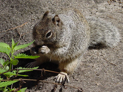 أنواع السناجب  Rock-squirrel