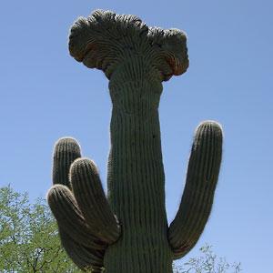 Crested Saguaro (Carnegiea gigantea)