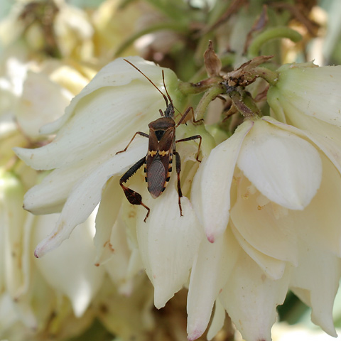 Leaf-footed Bug (Family Coreidae) on Banana Yucca (Yucca baccata) flowers