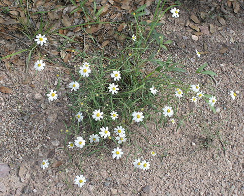 Plains Blackfoot or Blackfoot Daisy (Melampodium leucanthum)