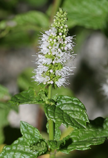 Spearmint (Mentha spicata) flowers