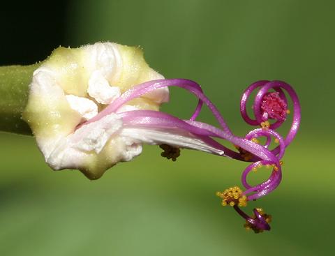 Sweet Four O'Clock (Mirabilis longiflora) stamens