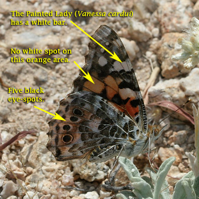 Painted Lady (Vanessa cardui) butterfly identification
