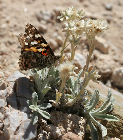Painted Lady (Vanessa cardui) butterfly