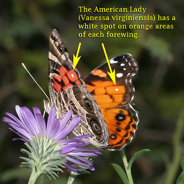 Key to American Lady (Vanessa virginiensis) butterfly identification