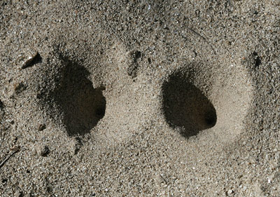 Antlion (or Ant Lion) (Family Myrmeleontidae) larva pits in the sand