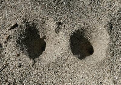 Antlion (or Ant Lion) (Family Myrmeleontidae) larva pits in the sand