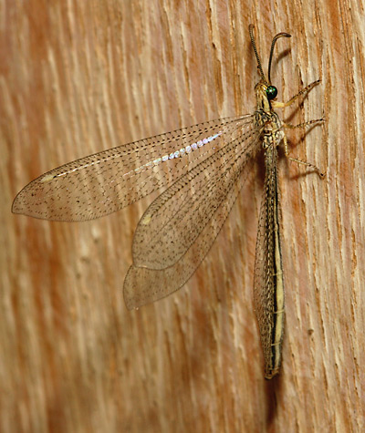Winged adult Antlion (or Ant Lion) (Family Myrmeleontidae)