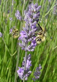 Bee on Lavender (Lavandula sp.) flowers