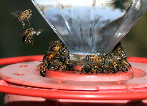 Honeybees (Apis mellifera) on a hummingbird feeder