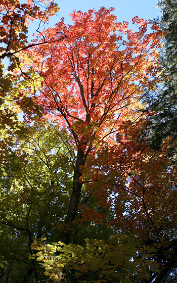 Fall foliage of Bigtooth Maples (Acer grandidentatum)